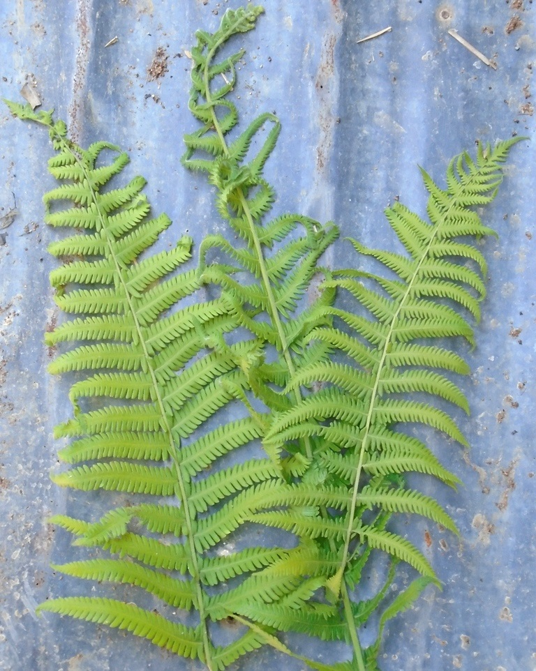 The colour of three stem of Parasitic maiden fern is green.