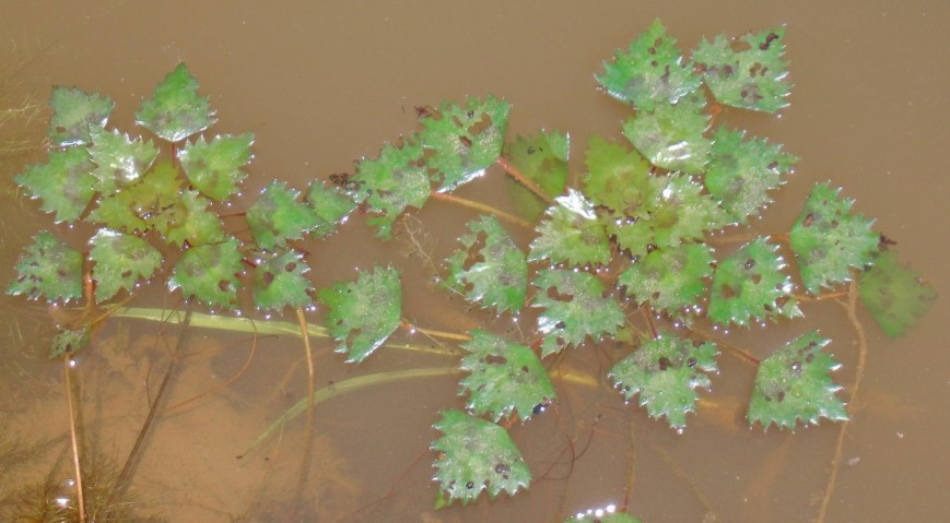 The Trapa incisa plant is growing on Water.