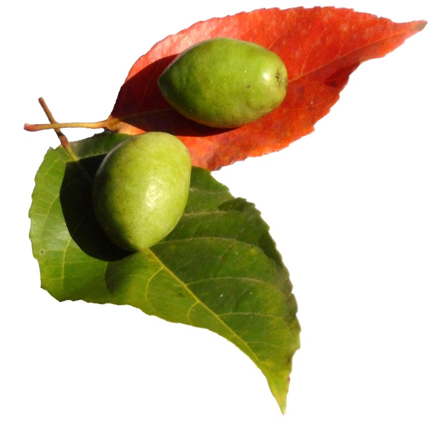 One Indian olive is on the its red leaf, the other is on green leaf.