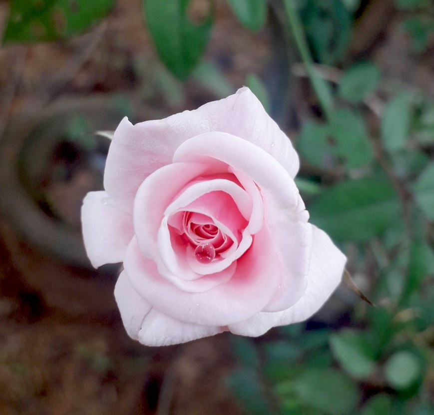 a white rose flower is blooming