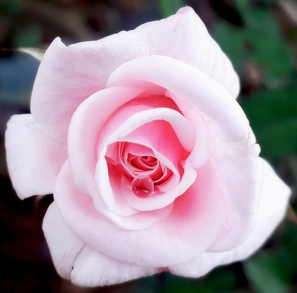 close up of a white rose flower