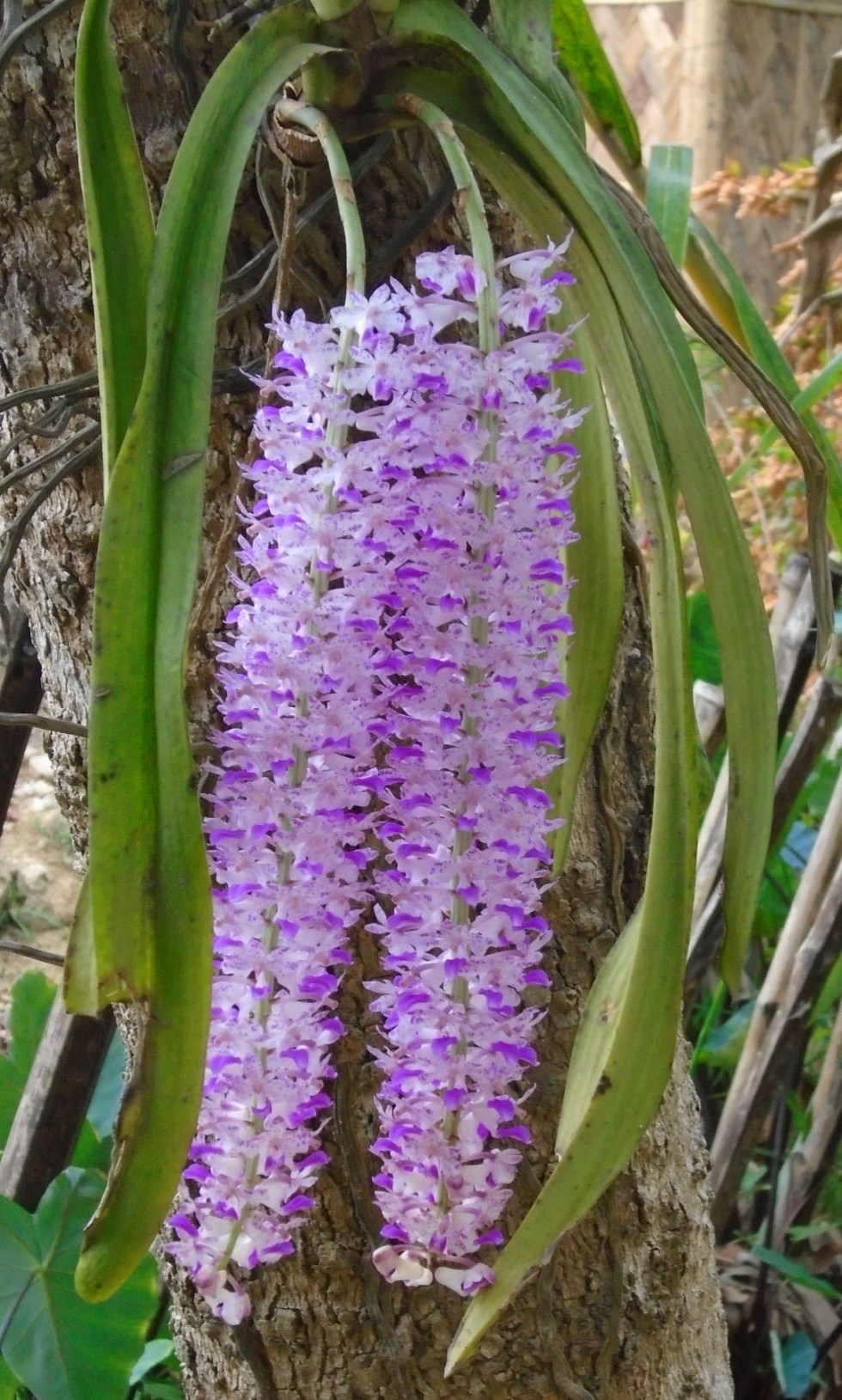 two Rhynchostylis retusa (called foxtail orchid) orchid or Kopow Phul