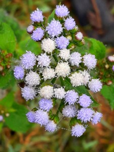 flowers of Ageratum conyzoides (billygoat-weed, chick weed, goatweed, whiteweed, mentrasto)