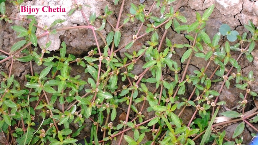 Alternanthera sessilis (L.) R. Br. ex. DC. plants are growing