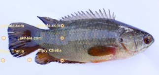 An Indian climbing perch fish