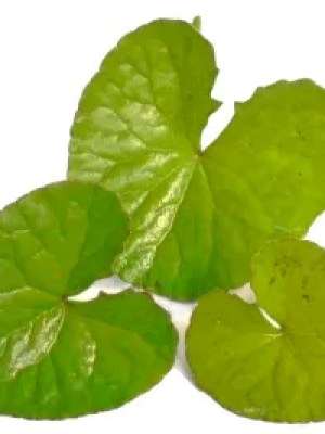 three leaves of Indian pennywort plant