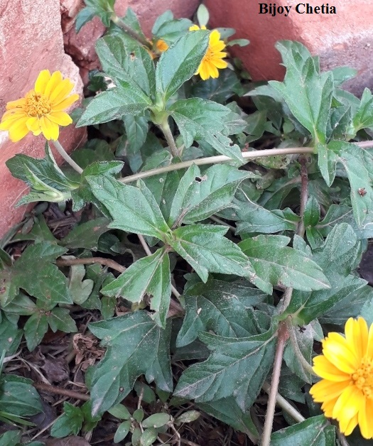 Chinese wedelia plants with its yellow flowers are growing on soil.