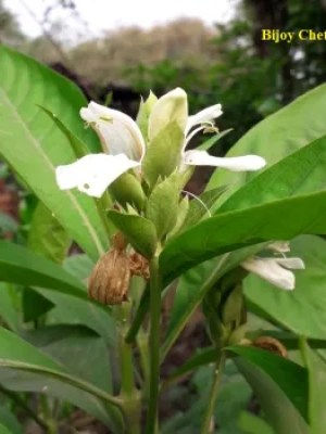 A Justicia adhatoda L. plant is growing with white flower.