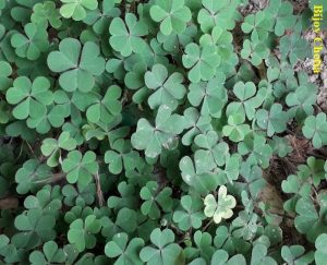 some Oxalis corniculata L. plants are growing