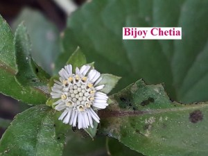 A white flower of Eclipta prostrata L. is blooming.