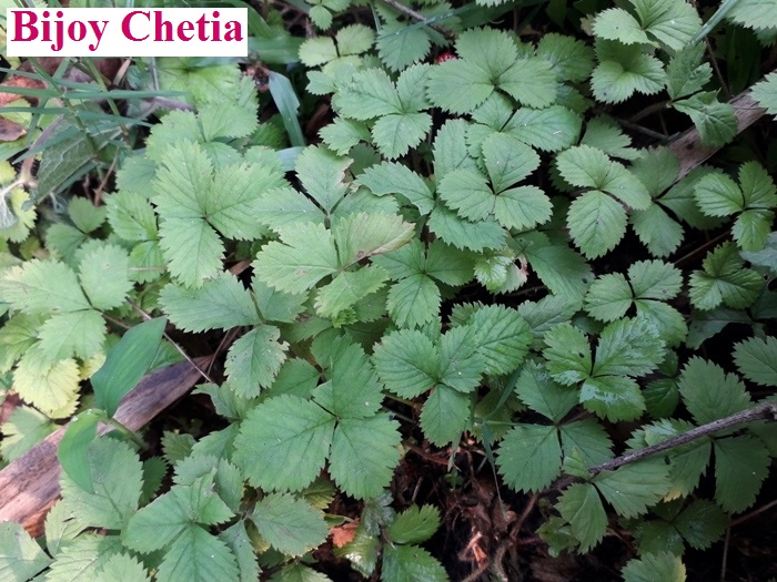 green leaves of false strawberry (Potentilla indica Andrews) plant