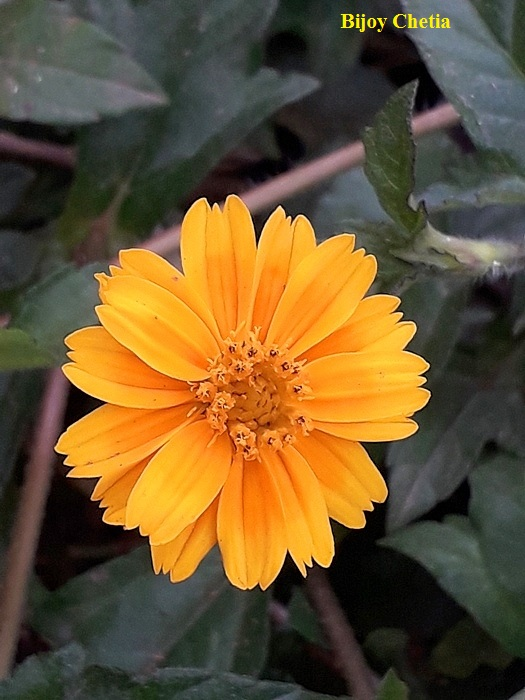 Yellow flower of Chinese wedelia plants is blooming.