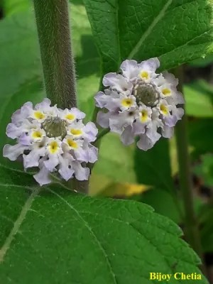 white flowers of Lippia alba plant are blooming