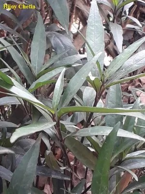 Erect leaves and stem of Willow-leaved justicia plants are growing