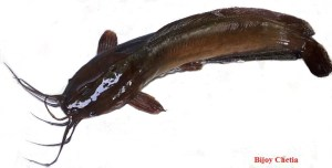 Top left side view of a Clarias Magur fish