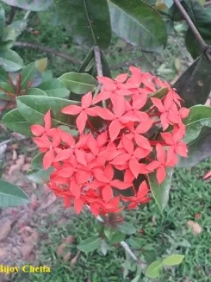 lush bunches of flowers at branch end of Ixora coccinea