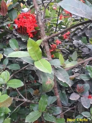 branches of a Ixora coccinea plant with green leaves, red flowers, and bunches of young red flowers.