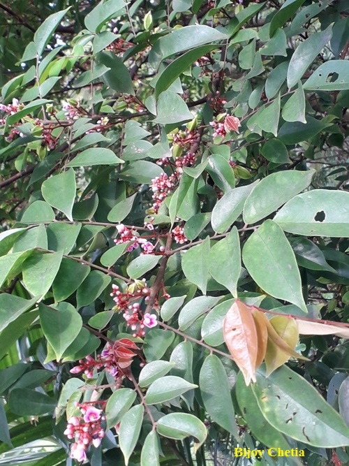 ovate green leaves and red flowers on a branch of averrhoa carambola