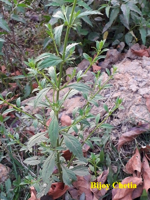 Licorice weed is seen growing in the wild