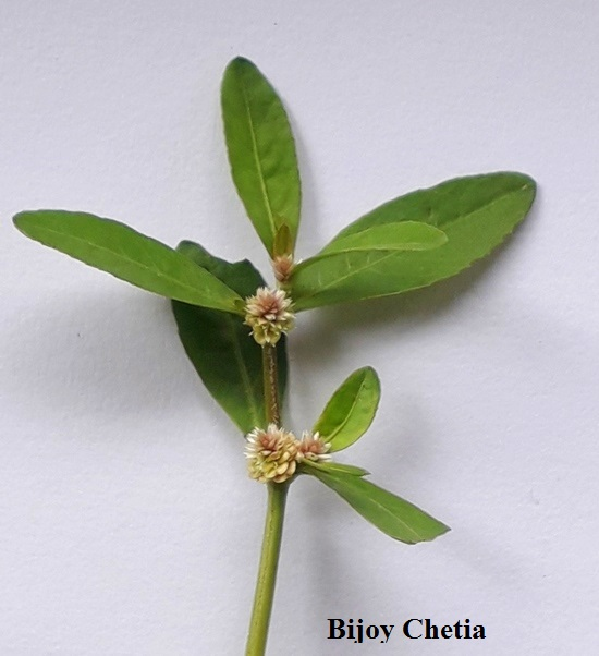 clear image of flowers of Alternanthera sessilis with green leaves