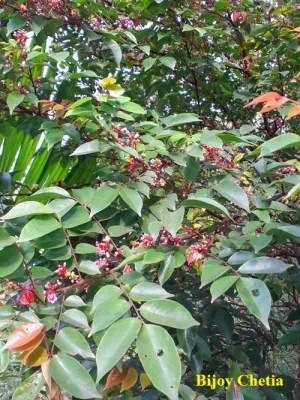 leaves and red flowers of Star fruit plant are seen in day time