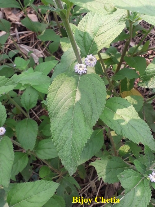 a Stem of bushy lippia with green leaves and flowers