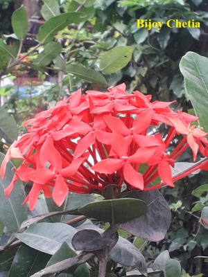 clustered flowers of Jungle flame plant