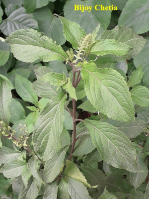 A stem of Ocimum basilicum with bud and leaves