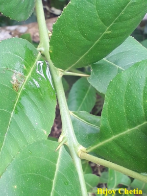 thorns at limon stem with green leaves