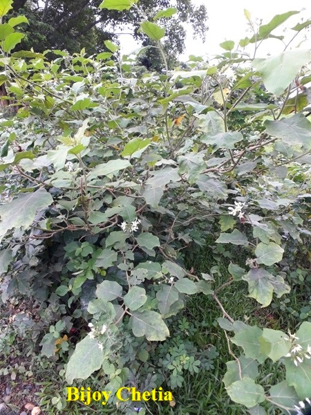 whole plant of Solanum torvum is growing in the wild