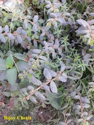 Asthma-plants are growing with other weeds on soil.