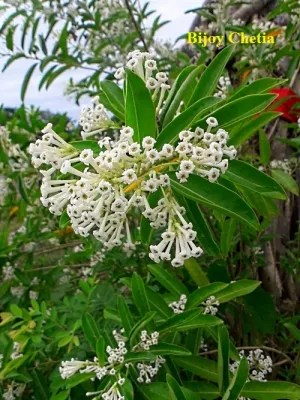 blooming flowers of Cestrum diurnum plant at the background of green leaves