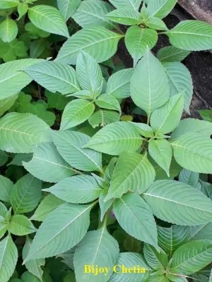 many beautiful green leaves of rose balsam plants