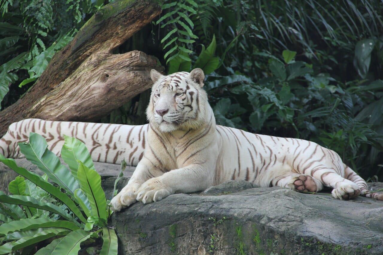 singapore tiger