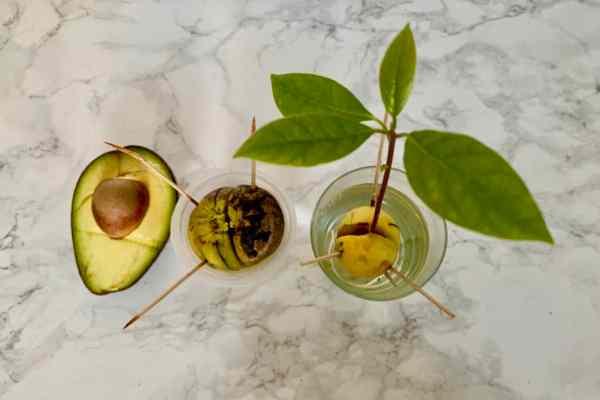 Jak zasadzić awokado z pestki? Prosty poradnik