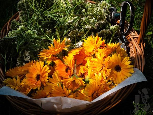 Zbiór kwiatów nagietka i krwawnika | Kiedy zbierać zioła