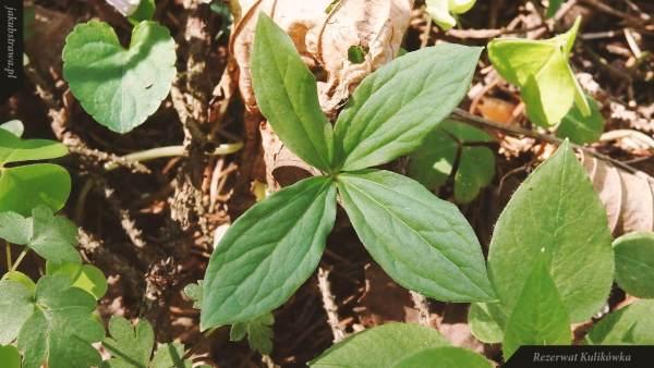 Czworolist pospolity(Paris quadrifolia) | Rezerwat Kulikówka
