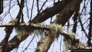 Brodaczka zwyczajna (Usnea filipendula) | Rezerwat Krzemienne Góry