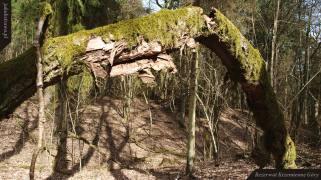 Stare pnie tworzą dziwne formy | Rezerwat Krzemienne Góry