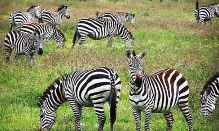 ¿Por qué las cebras no tienen úlcera o cómo gestionar el estrés?