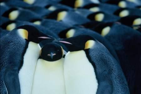 pingüinos: unión y colaboración