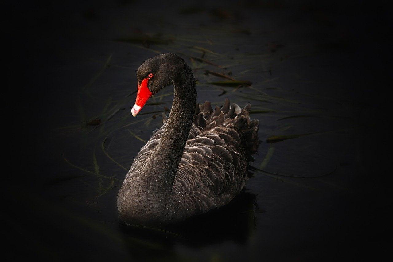 black swan, waterfowl, cygnus atratus