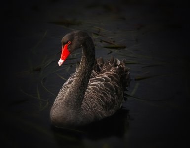 black swan, waterfowl, cygnus atratus