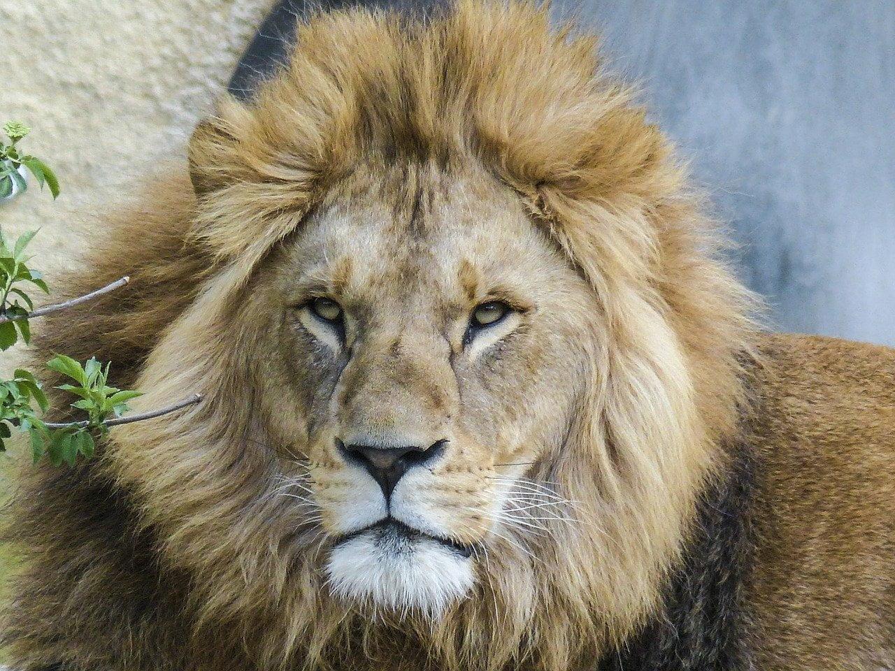 lion, big cat, predator