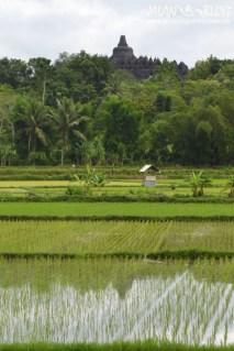 Sawah di belakang Borobudur