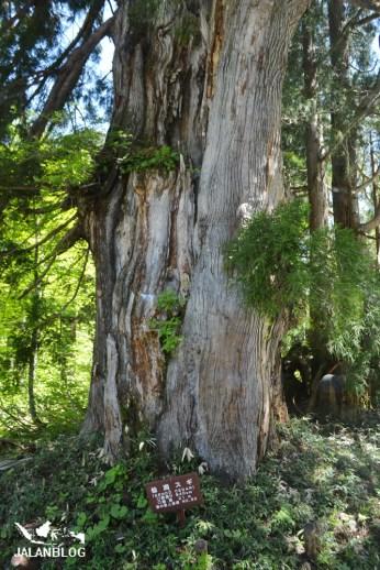 Pohon Cedar Besar