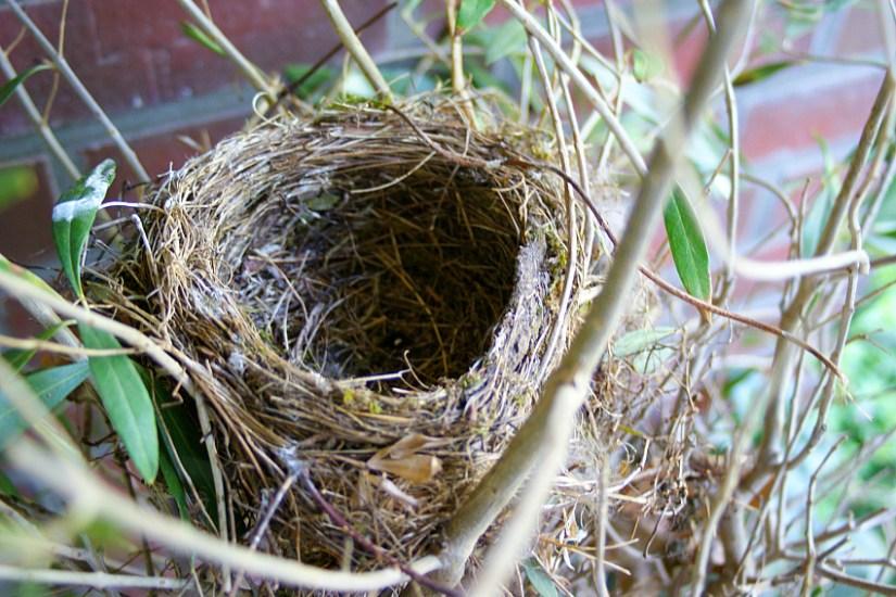 leeres Nest im Olivenbaum