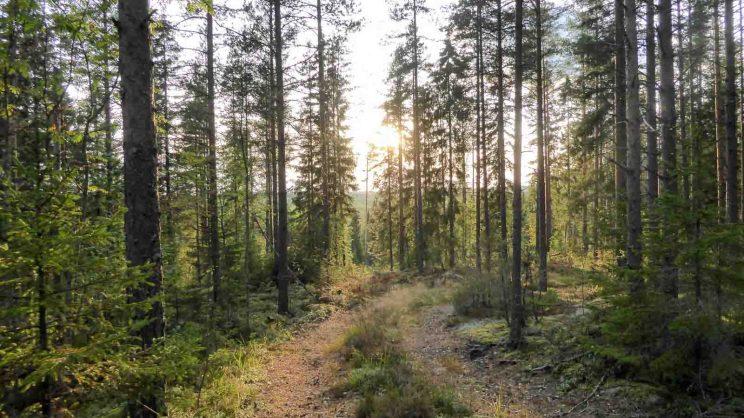 Metsäpolku ja laskeva aurinko, Jämsä