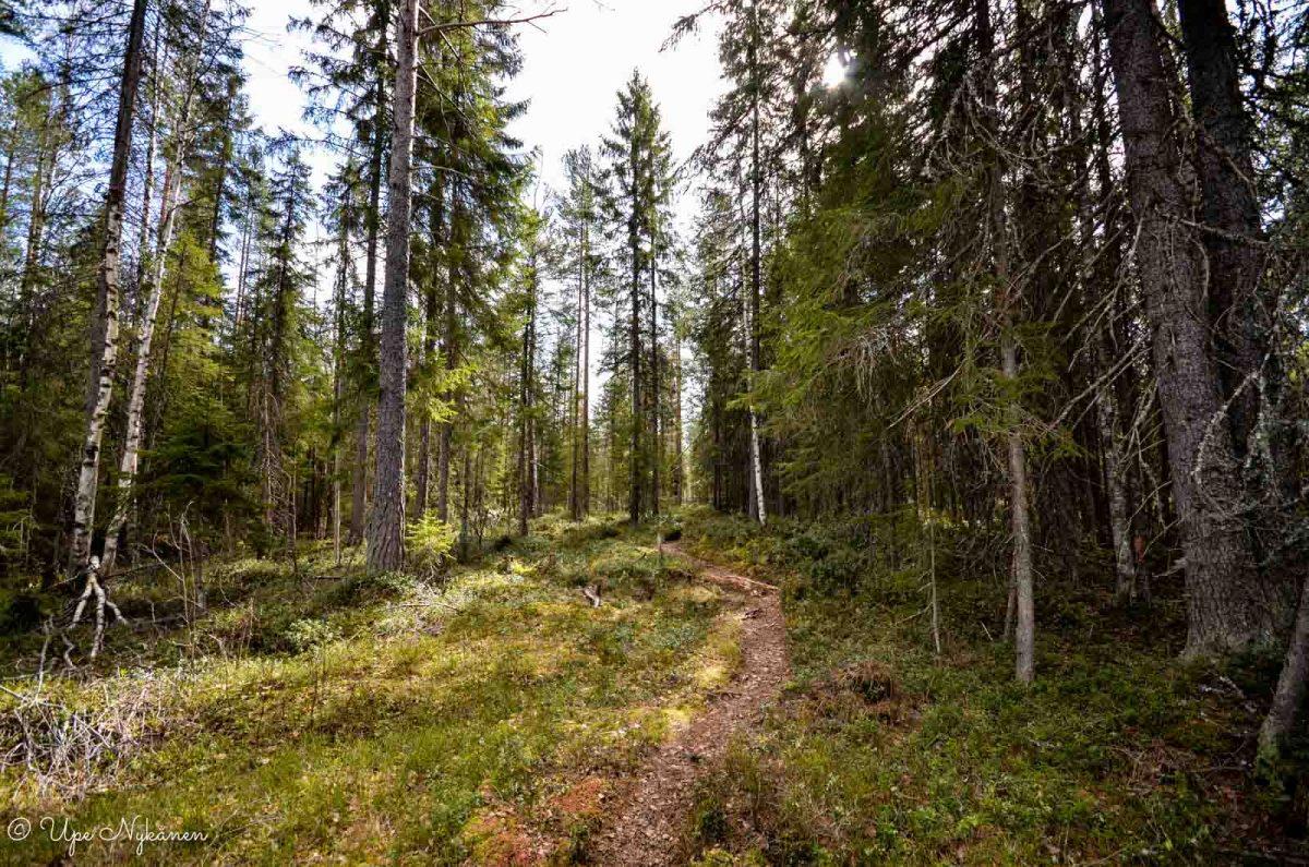 Polku metsän halki Kontionjäljen luontopolulla.