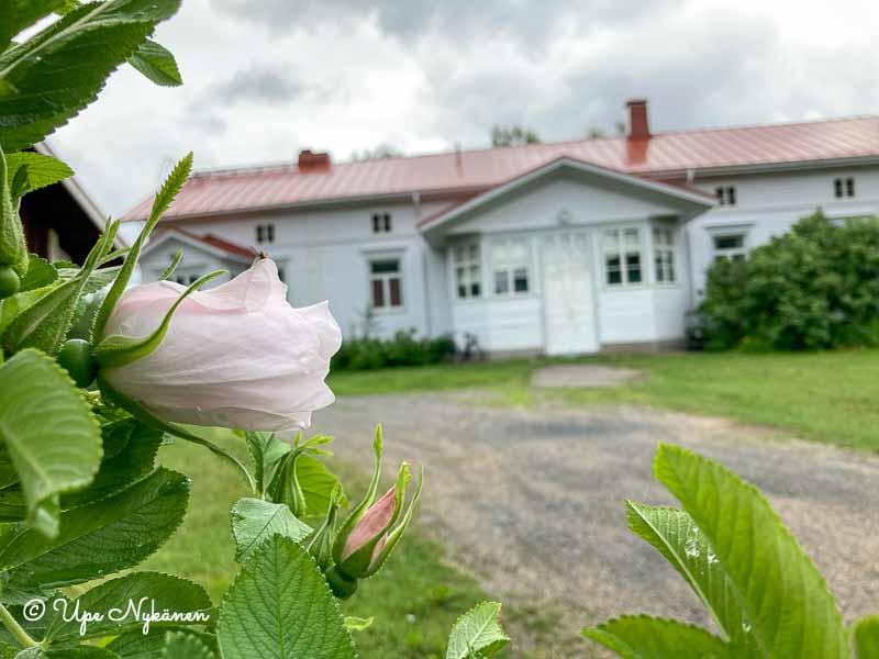 Etualalla vaaleanpunaisia ruusuja, pensaan takaan näkyy Iin vanha vaaleaksi maalattu pappilarakennus,